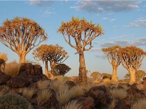 Chiêm ngưỡng rừng cây kỳ lạ ở miền Nam Namibia