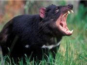 """Thế giới kỳ bí của quỷ Tasmania, """"sát thủ"""" có túi lớn nhất thế giới"""