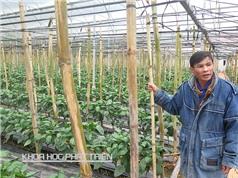Mô hình trồng ớt  lãi 80 triệu đồng/tháng