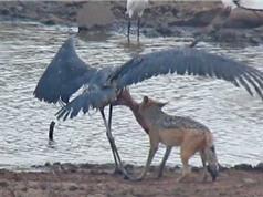 Màn săn giết cò ngoạn mục của chó rừng