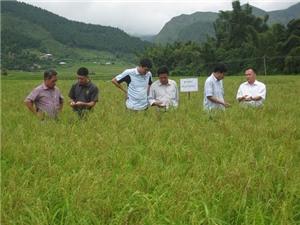 Yên Bái chọn lọc và bảo tồn giống lúa nếp Tú Lệ