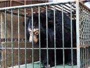 Chuyển giao cá thể gấu ngựa nuôi bất hợp pháp tại Hà Nội