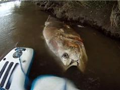 Xác cá ngừ lớn như cá mập nổi trên sông Anh