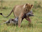 Sư tử cái ăn thịt ngựa vằn non