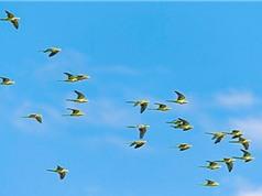 Vì sao chim không va chạm vào nhau khi bay?