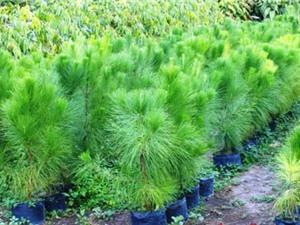 Lâm Đồng: Nghiên cứu tuyển chọn thêm nhiều giống cây lâm nghiệp