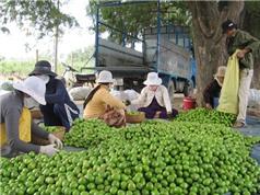 Ninh Thuận dán nhãn để bảo hộ trái táo