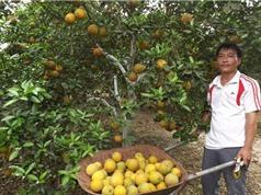 Nghệ An tìm giải pháp phát triển chuỗi giá trị cho cam Quỳ Hợp