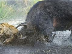 Hai con sư tử chết thảm dưới cặp sừng sắc nhọn của trâu rừng