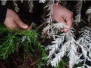 Bí ẩn loài cây sống không cần quang hợp ở Mỹ
