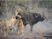 Giải mã chiến thuật săn mồi tuyệt đỉnh của loài sư tử