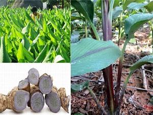 Nghệ đen trồng ở Nghệ An thu khoảng 700 triệu đồng/ha