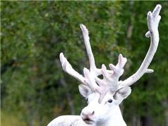 Khổng tước quý hiếm được đưa vào Thảo Cầm Viên; Tuần lộc trắng cực hiếm bất ngờ xuất hiện ở Thụy Điển