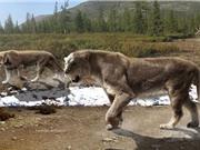 Loài sư tử lớn nhất thế giới bị người cổ đại tận diệt