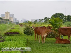 Cắt cỏ đô thị bằng dê, bò: Chưa thể áp dụng tại Việt Nam
