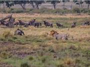"""Sư tử bỏ dở """"cuộc yêu"""" để đi săn linh dương đầu bò"""