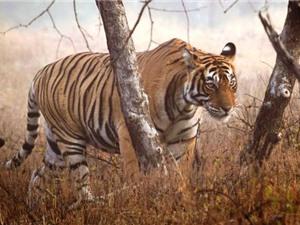 Số phận bi đát của loài hổ hoang dã