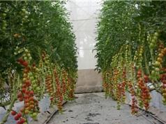 Bến Tre ứng dụng công nghệ cao trồng thử nghiệm cà chua picota; Phụ nữ mãn kinh sớm tăng nguy cơ gãy xương