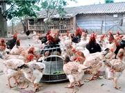 Hà Nam xây dựng mô hình sản xuất giống gà móng