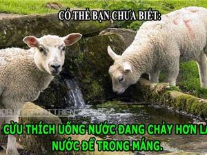 ĐỘC-LẠ: Những sự thật thú vị, khó tin về loài cừu