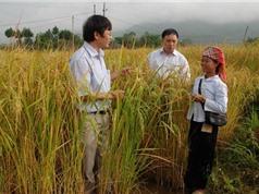 Lai Châu xây dựng mô hình sản xuất lúa Khẩu Ký