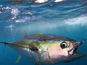 """Clip: Cận cảnh màn câu cá ngừ """"siêu tốc"""" của ngư dân Australia"""