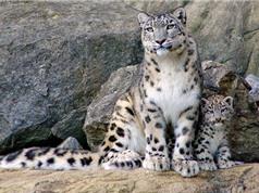 Chùm ảnh đẹp về loài báo tuyết có nguy cơ tuyệt chủng