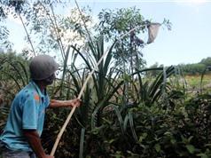 Đi săn trứng kiến kiếm tiền triệu ở Quảng Nam