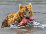 Màn săn mồi ngoạn mục của gấu nâu