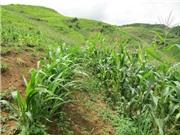 Lai Châu áp dụng kỹ thuật trồng ngô trên đất dốc