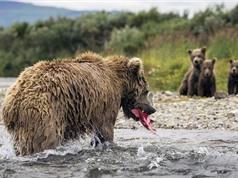 Gấu nâu mẹ ngụp lặn dưới nước kiếm cá nuôi con nhỏ