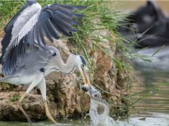 Cận cảnh mà cướp mồi ngoạn mục từ miệng rắn của chim diệc