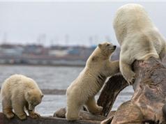 """Gấu trắng Bắc Cực cha nhận cái kết """"đắng"""" vì tham ăn"""