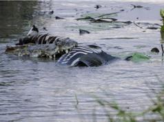 Ngựa vằn chết thảm dưới hàm răng sắc nhọt của cá sấu