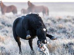 """Chú chó """"chạy té khói"""" vì bị ngựa hoang truy đuổi"""