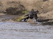 Màn thoát chết ngoạn mục trước hàm cá sấu của linh dương đầu bò