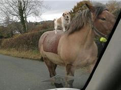 Chó cưỡi ngựa đi dạo trên đường phố Anh