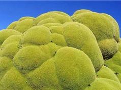 Chiêm ngưỡng cây xanh khổng lồ 3.000 năm tuổi