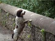 Cây cầu chó đi qua đều nhảy xuống tự tử ở Scotland