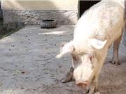 """Khám phá chú lợn """"độc nhất vô nhị"""" ở Afghanistan"""