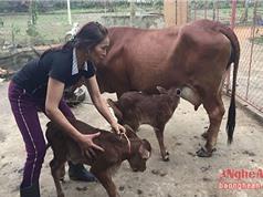 LẠ: Bò sinh đôi ở Nghệ An