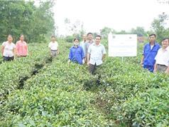 Thái Nguyên tăng 40% năng suất chè nhờ bón than sinh học