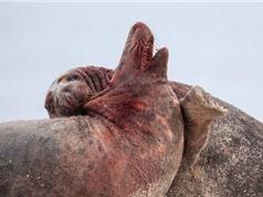 Hải cẩu đực đại chiến giành quyền làm cha