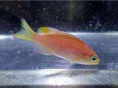 Loài cá mới mang tên Tổng thống Obama