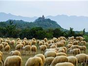 """Ngắm bầy cừu đẹp như tranh vẽ tại vùng """"đất chết"""""""