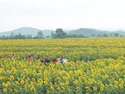 Cận cảnh vẻ đẹp của cánh đồng hoa hướng dương lớn nhất Việt Nam