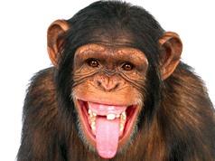 Thanh quản của khỉ đủ điều kiện để có thể nói như người