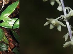 Phát hiện 2 loài thực vật mới tại Khánh Hòa