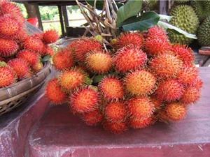 Quảng Ngãi tạo vườn giống cây ăn quả chất lượng cao