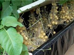 Bắc Giang sản xuất củ giống khoai tây siêu nguyên chủng